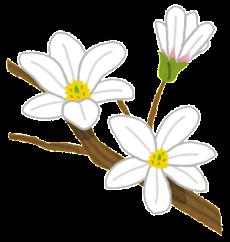 flower_kobushi